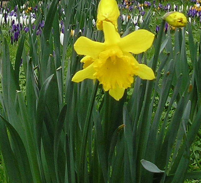 Marie Curie's 'Great Daffodil Appeal' and London goes yellow (1/6)