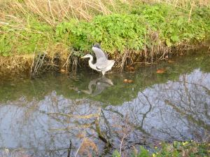 heron fishing at the deer park in richmond