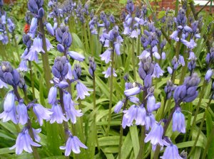 Hyacinthoides non-scripta (formerly Endymion non-scriptus or Scilla non-scripta) is a bulbous perennial plant, found in Atlantic areas from north-western Spain to the British Isles