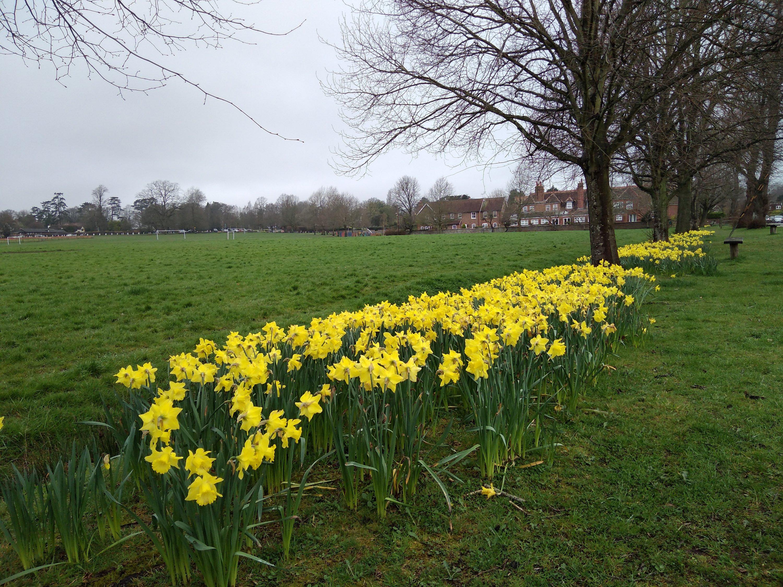 Daffodils in Limpsfield