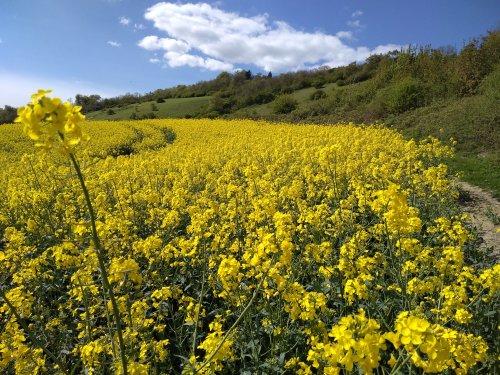 Rapeseed fields Surrey