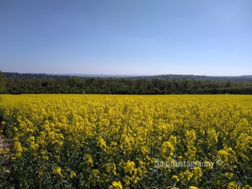 rapeseed fields, the pilgrims way north downs, follow the pilgrims way, pilgrims way winchester to canterbury