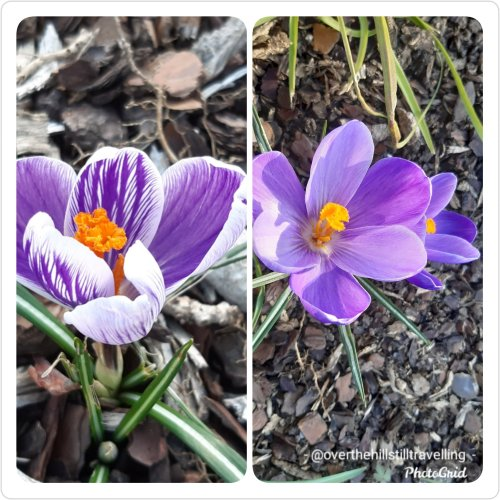 crocuses in spring